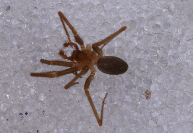 genus Loxosceles